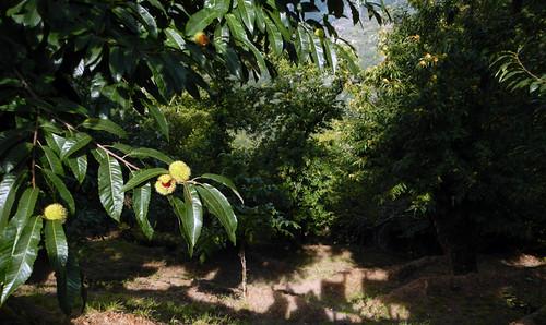 Chestnut Grove in Ribeira Sacra, Spain