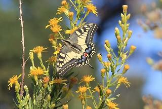 (Papilio xuthus)
