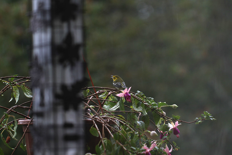 little yellow bird in gentle rain
