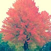 Firey autumn colors #autumn #fall #leaves #tree