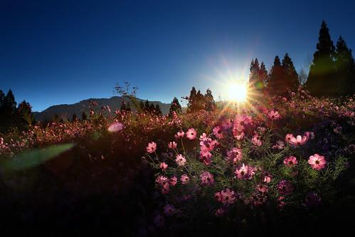 sunrise canon landscape taiwan explore taichung cosmos hy bai 台中 波斯菊 日出 福壽山 福壽山農場 fushoushan explored 風景攝影 fushoushanfarm fave50 fave100