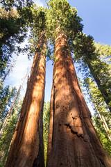 Giant Sequoia 11
