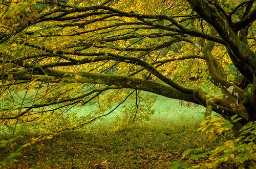 autumn trees green fall japanesemaple westonbirt acer