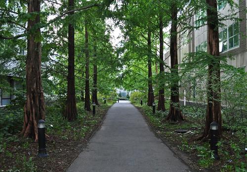 Metasequoia Allée