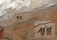 Macedonia, Drama, bats on the ceiling of Angitis river source cave,  Greece #Μacedonia