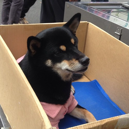 Adorable puppy at the Tsujiki market was relaxing while the human was working the booth.