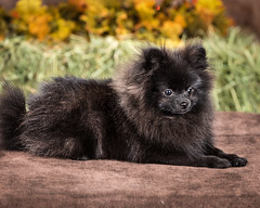 dog breed, animal, puppy, dog, pet, german spitz, fauna, german spitz mittel, carnivoran, pomeranian,