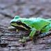 Tree frog DSC_3929 by hummingbirdzoo