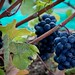 Small photo of Grapes - Prince Edward County