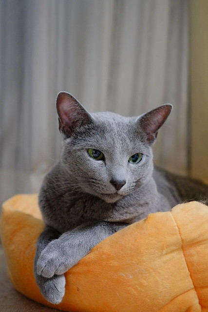 russian blue lying gently