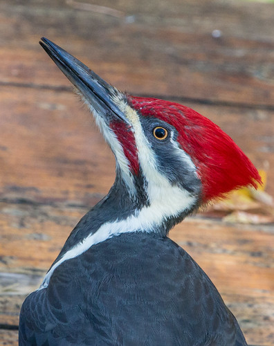 Pileated Woodpecker on my picnic table