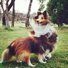 tibetan spaniel(0.0), phalã¨ne(0.0), miniature australian shepherd(0.0), spaniel(0.0), australian shepherd(0.0), papillon(0.0), icelandic sheepdog(0.0), dog breed(1.0), animal(1.0), dog(1.0), pet(1.0), mammal(1.0), scotch collie(1.0), shetland sheepdog(1.0),