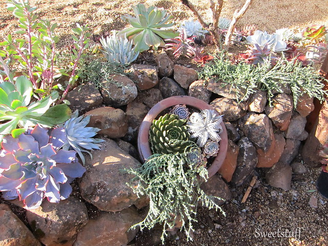 ECHEVERIA EXTRAVAGANZA BY BELL & FLOURISH WITH ROSS LANDSCAPE CONSTRUCTION 1