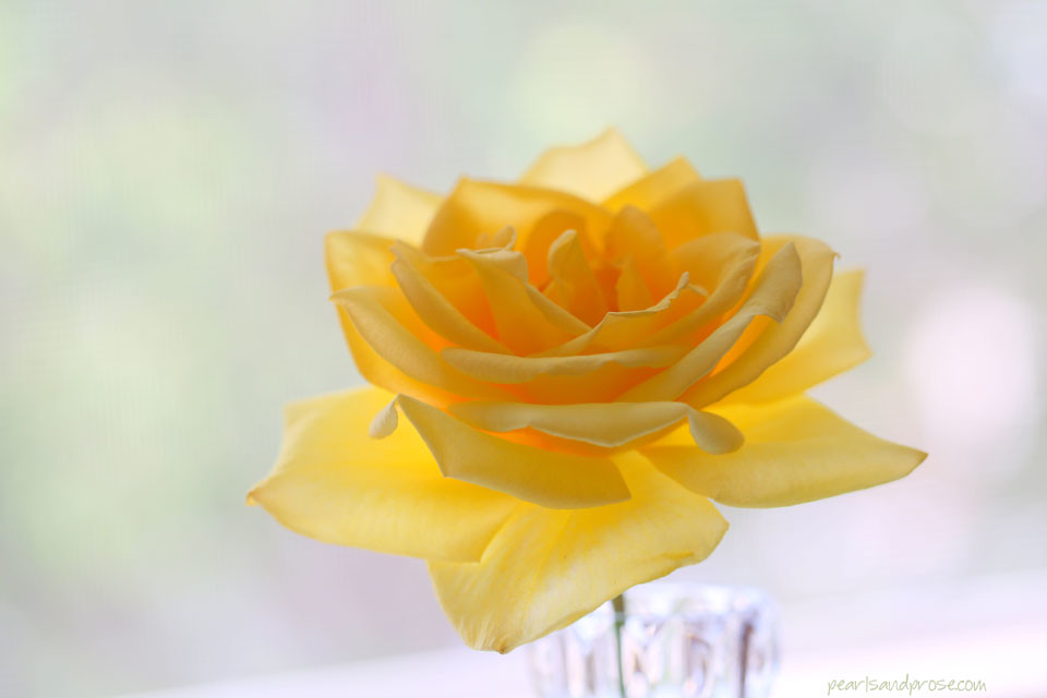yellow_rose_web