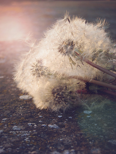 sunset summer sun sunlight white plant macro nature outside outdoors whispering serbia seed naturallight outoffocus dandelion ontheground sunrays vojvodina srbija makeawish maslačak kristinavf