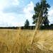 In fields of gold