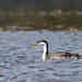 Small photo of Lifer western grebe, Aechmophorus occidentalis