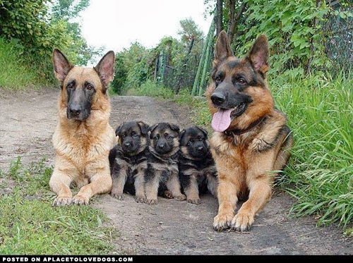 #shepherds #german #puppies #dogs #animals #pets