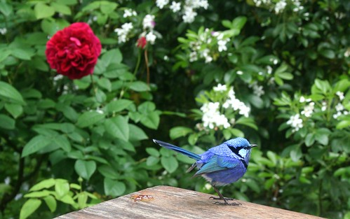 The Berry Farm: Behold the Splendid Fairy-wren