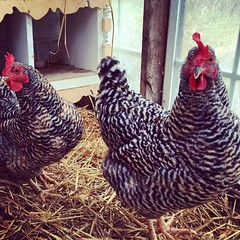 #thegirls #newcoop #happychickens #freshegg #goodmorning
