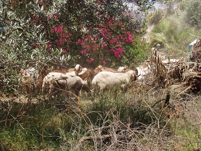 201405280002-goats