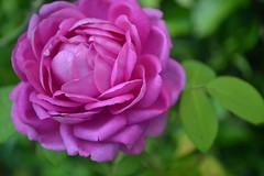 Lucca, rose 2014