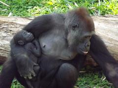 Escolha do nome do Gorilinha