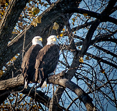 Two Eagles Resting Between Meals
