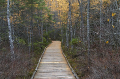 Bog Boardwalk, Fall