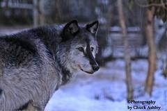 Silver Wolf W_8184