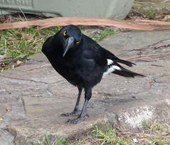 acridotheres(0.0), american crow(0.0), eurasian magpie(0.0), blackbird(0.0), rook(0.0), animal(1.0), crow(1.0), fauna(1.0), beak(1.0), bird(1.0), wildlife(1.0), magpie(1.0),