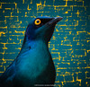 Cape glossy starling composite-1.jpg