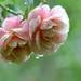 梅雨時のバラ by myu-myu