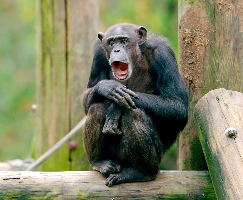 Chimpanzee_16
