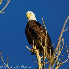 Bald Eagle Poses