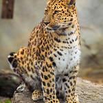 Amur Leopard, Brookfield Zoo
