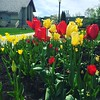 Tiptoeing thru the tulips :tulip: #iloveflowers #bringonthesun #spring #signsofspring