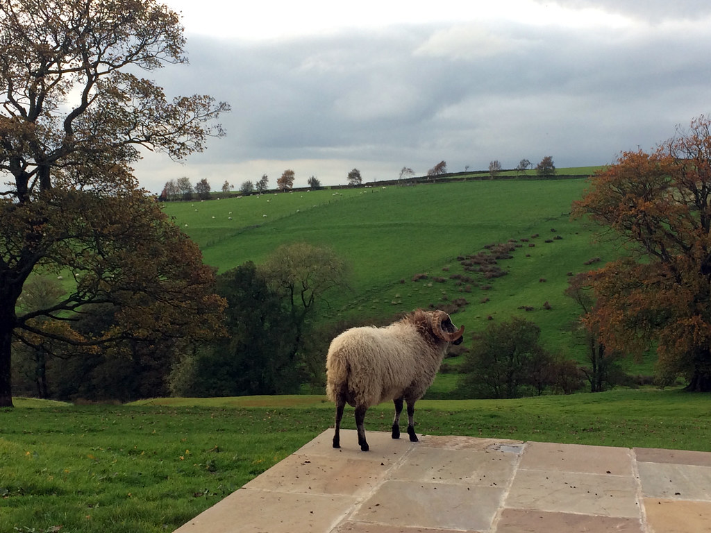 "Boris is British Wool Farm's ""Sheep of the Week"""